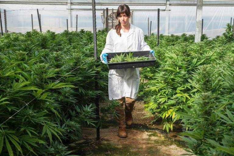 Funcionária da empresa Breath of Life Pharma em estufa de cannabis