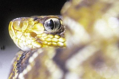 ORG XMIT: 520101_0.tif Cobra cascavel que é peçonhenta e, cujo veneno é usado para fabricação de soro pelo Instituto Butantan.