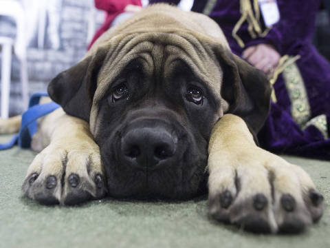 Dunkin, a mastiff, is shown during the meet the breeds companion event to the Westminster Kennel Club Dog Show, Saturday, Feb. 10, 2018, in New York. (AP Photo/Mary Altaffer) ORG XMIT: NYMA104