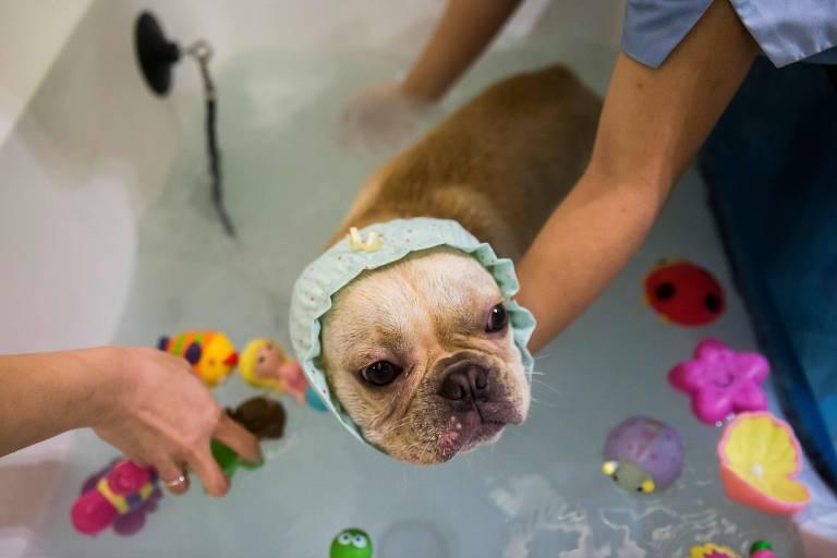 Cãozinho toma banho de banheira em spa canino