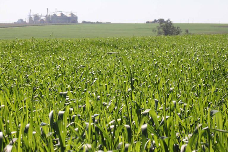 Plantação de milho no norte do Paraná