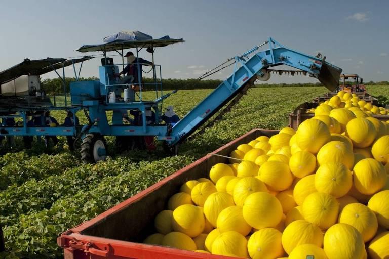 Máquina colhe melões em fazenda