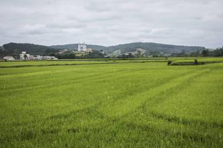 ***Pauta especial Desastres Naturais***. Plantacao de arroz na cidade de Rio do Oeste   proximo ao rio Itajai Oeste. Agricultura local e casas da cidade sofrem com as constantes cheias do rio