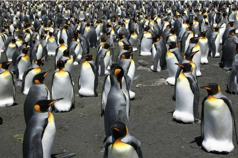 Pinguins-rei procriam em muitas das ilhas da Antártida