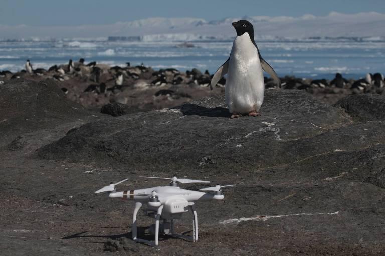 Pinguim-de-adélia em frente a um dos drones usados para contagem