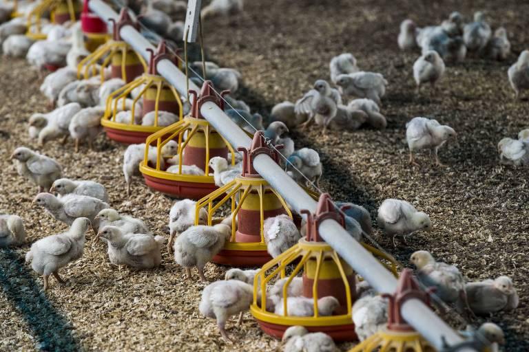 Barracão de engorda de  granjeiro que integra rede de fornecedores da BRF em Carambeí (PR)
