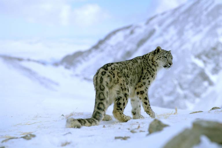 Leopardo das Neves observa o horizonte em meio a neve; a espécie é considerada como vulnerável pela lista da União Internacional para Conservação da Natureza (UICN)