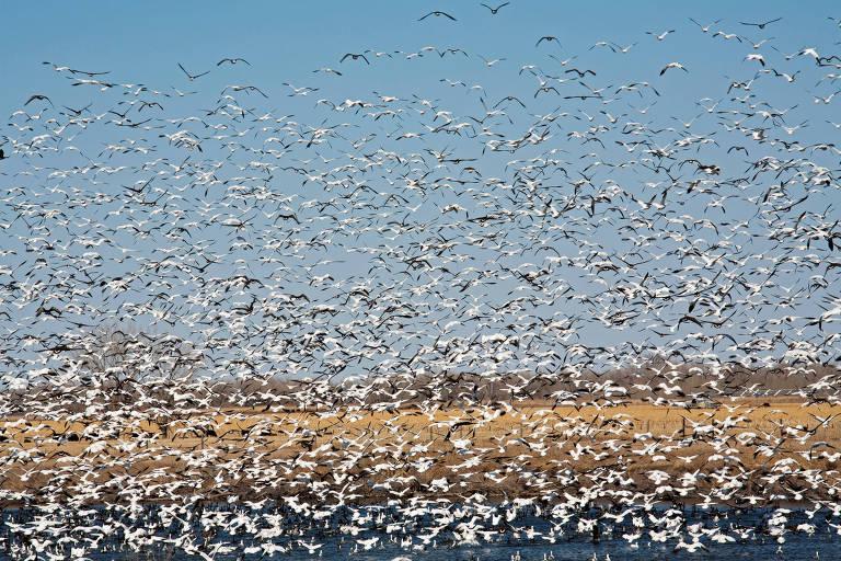 Um bando de gansos sobrevoa o rio Platte. Há centenas deles, todos de cor branca, voando próximos uns aos outros. Ao fundo, é possível ver um campo de vegetação rasteira ao lado do rio