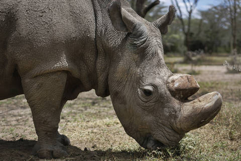 This May 3, 2017, photo, shows Sudan, the world's last male northern white rhino, at the Ol Pejeta Conservancy in Laikipia county in Kenya. Sudan has died after