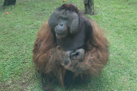 SAO PAULO, SP, 15/03/2018, BRASIL - FEBRE AMARELA NA ZONA SUL - 12:00:37 - O Zoologico, reabre hoje, mas a direcao do parque esta orientando os frequentadores que devem ter tomado a vacina ha 10 dias antes da visitacao. Jaula do Orangotango. (Rivaldo Gomes/Folhapress, NAS RUAS) - ***EXCLUSIVO AGORA*** EMBARGADA PARA VEICULOS ONLINE***UOL, FOLHAPRESS E FO LHA.COM CONSULTAR FOTOGRAFIA DO AGORA***FONES 32242169 E 32243342***