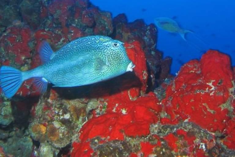 Peixe azul nada em meio a organismos marinhos vermelhos