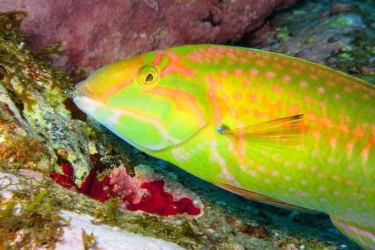 Peixe colorido, com tonalidades de amarelo e verde