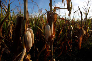 Corn plants are seen in a drought affected farm near Chivilcoy