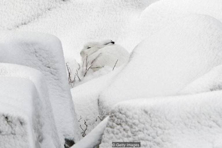 Lebre do ártico, branca, em meio à neve