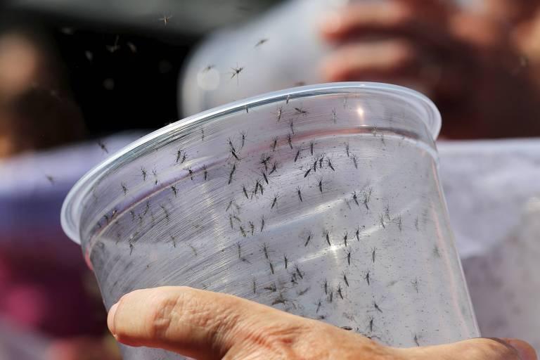 Mosquitos geneticamente modificados são soltos em Piracicaba, onde Oxitec e prefeitura estabeleceram um convênio