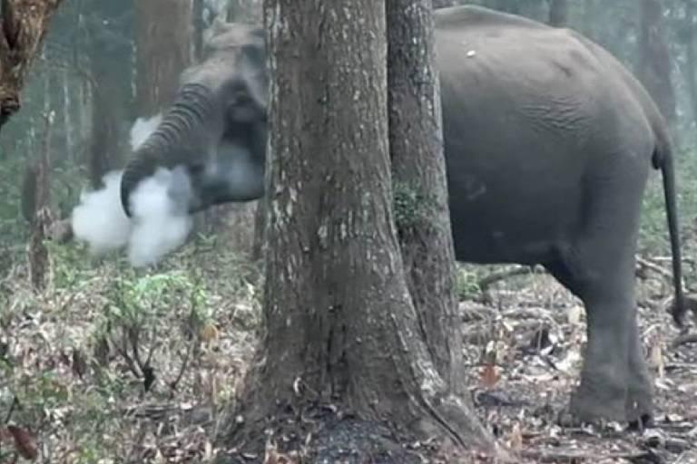 Os cientistas acreditam que elefanta estava ingerindo carvão de madeira queimado