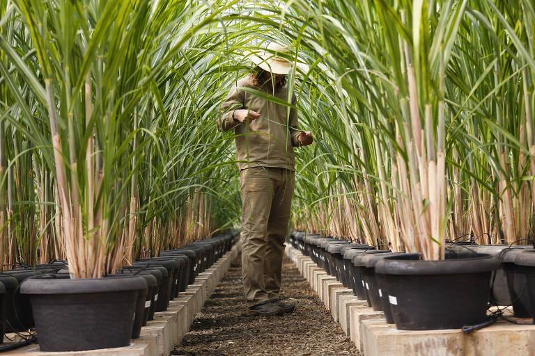 Técnico observa canas geneticamente modificadas em estufa do CTC (Centro de Tecnologia Canavieira), em Piracicaba (SP)