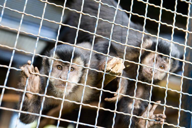 Macacos-prego no Centro de Manejo e Conservação de Animais Silvestres
