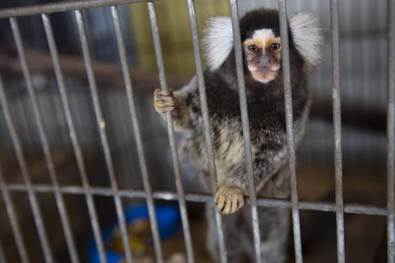 Sagui no Centro de Manejo e Conservação de Animais Silvestres da Prefeitura de São Paulo
