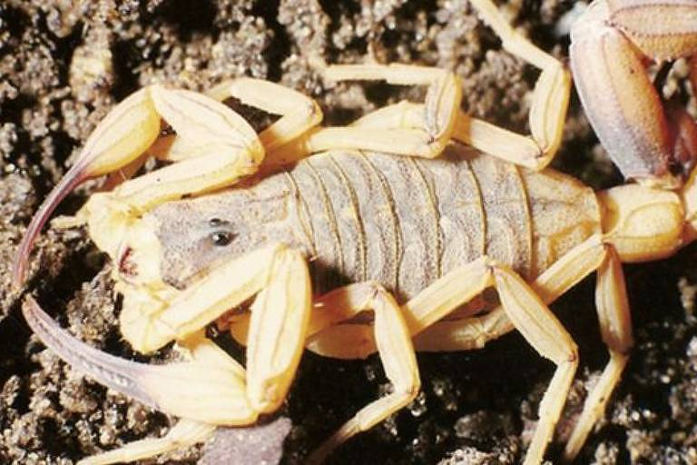 O escorpião-amarelo é um dos que mais picam