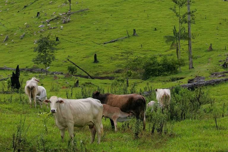 Gado pasta em área de proteção ambiental desmatada, localizada em São Félix do Xingu, no Pará. São Félix do Xingu (PA)
