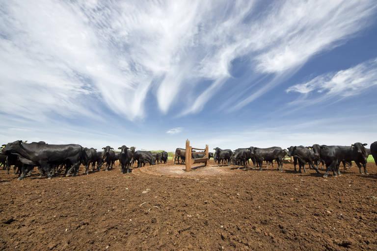 Bois em confinamento de gado que terceirizam para a Marfrig em São Paulo