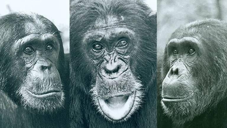 A eleição de um macaco do norte do Parque Nacional de Gombe como macho alfa causou tensão na comunidade de chimpanzés e, principalmente, com dois rivais, Charlie e Hugh
