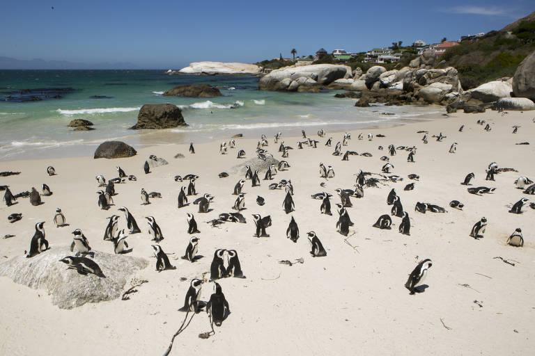Dezenas de pinguins tomam sol na Boulders Beach, na Cidade do Cabo, na África do Sul