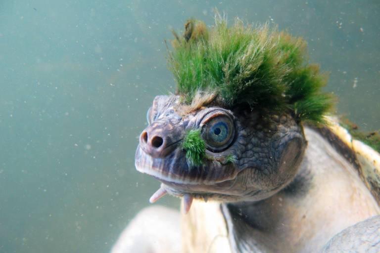 Tartaruga com cabelos verdes no topo da cabeça, na água