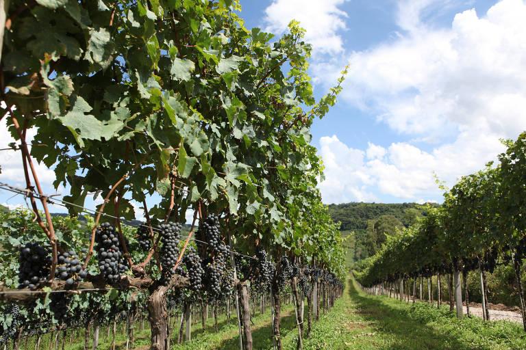 Feira levará 250 marcas de vinho à Serra Gaúcha