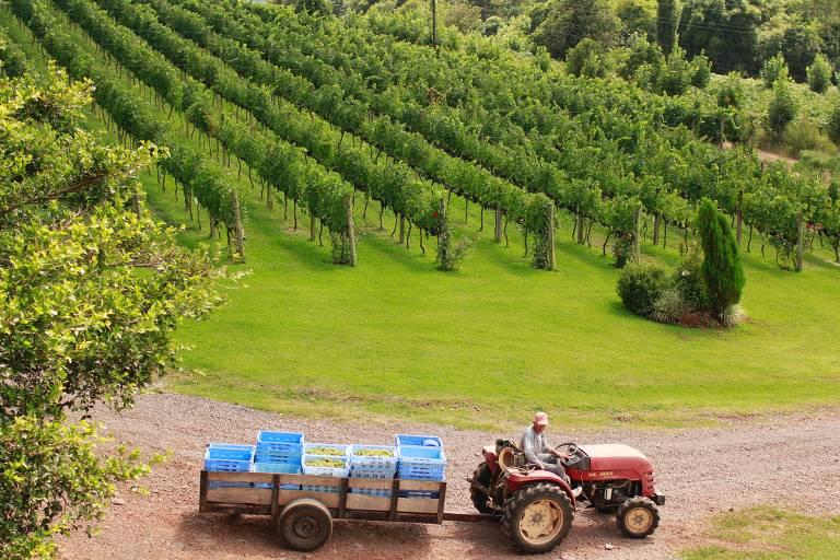 foto de trator transportando caixas de uvas viníferas colhidas em propriedade da vinícola Pizzato, localizada em bento Gonçalves (RS). Ao fundo da imagem, parreiral de uvas viníferas, da variedade Merlot, plantadas em sistema espaldeira, utilizadas na elaboração de vinhos finos.