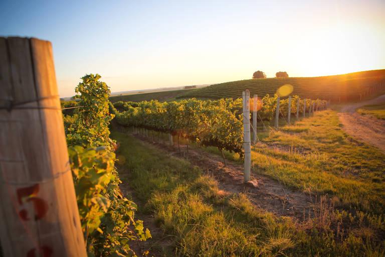 parreiral de uvas viníferas, cultivadas em sistema de espaldeira, na propriedade Fortaleza do Seival, pertencente à vinícola Miolo, em Candiota (RS).