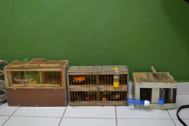 Pássaros em gaiolas foram transportados em gaiolas dentro de ônibus