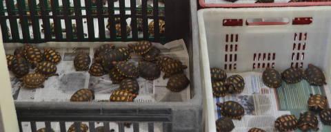 Centenas de tartarugas que foram resgatadas de ônibus em Guarulhos (SP)