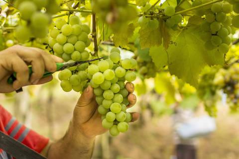 Colheita de uvas de variedades americanas e híbridas, cultivadas em sistema de latada, em propriedade rural familiar do município de Bento Gonçalves (RS), para elaboração de suco de uva 100%.