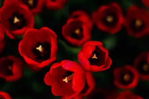 ***ATENCAO EDITORES NOME DAS FLORES INSERIDO***HOLAMBRA, SP, BRASIL, 16 - 07 - 2012, 12:00 . Tulipas em exposicao na Enflor em Holambra. Comercio e cultivo de flores mantem crescimento anuais desde a crise de 2008. (Foto: Alessandro Shinoda/Folhapress, MERCADO )***EXCLUSIVO FOLHA***