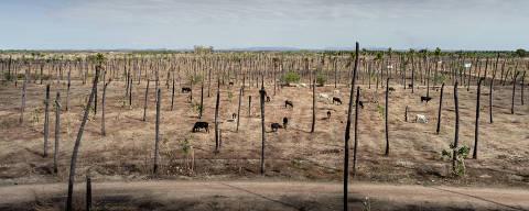 SOUSA, PB, BRASIL, 09-01-2018:Coqueiral seco no distrito de São Gonçalo na cidade de Sousa (PB). O Coco antes abastecidos pelo açude São Gonçalo, os canais de irrigação, construídos nos anos 1970 em uma área de 4 mil hectares, estão secos e praticamente destruídos pela falta de manutenção. Os poucos coqueiros verdes, que precisam de 200 litros/dia cada um nos meses mais quentes, sobrevivem em torno de poços artesianos, oásis em meio a campos abandonados. Estima-se que apenas 5% dos coqueirais das 82 propriedades tenham sobrevivido a seca.Especial da Folha aborda mudanças climáticas no mundo. No Nordeste brasileiro, a reportagem viajou por dois Estados (Paraíba e Rio Grande Norte) que formam a bacia Hidrográfica Piranhas-Açu. A região do semiárido nordestino  enfrenta uma seca recorde, iniciada em 2012.(Foto: Avener Prado/Folhapress) Código do Fotógrafo: 20516 ***EXCLUSIVO FOLHA*** *** trocas tratamento *** ORG XMIT: LOCAL1802212200289424