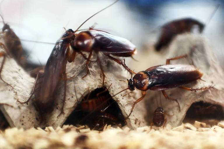 Além de serem consumidas como alimentos, as baratas são usadas em produtos medicinais