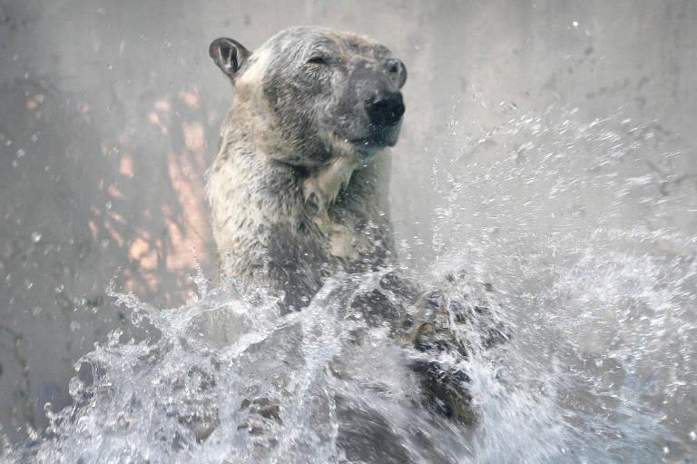 Inuka, primeiro urso polar nascido nos trópicos, é sacrificado