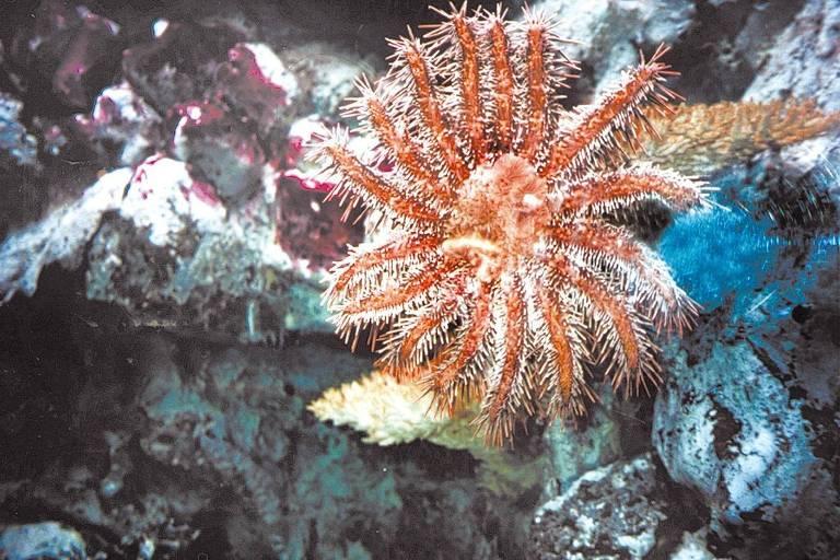 Coroa-de-espinhos (Acanthaster planci), uma espécie de estrela-do-mar que preda corais