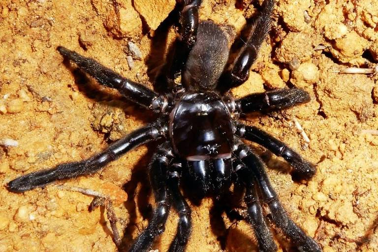 Morre aos 43 anos na Austrália a aranha mais velha do mundo