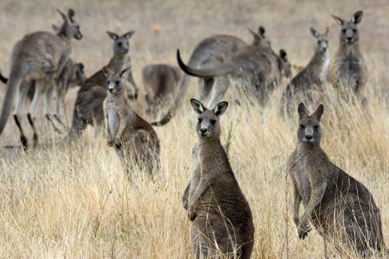 Cangurus fotografados na propriedade do Departamento de Defesa australiano em Belconnen, Canberra