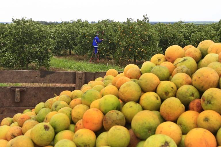 Plantação de laranja no interior de SP