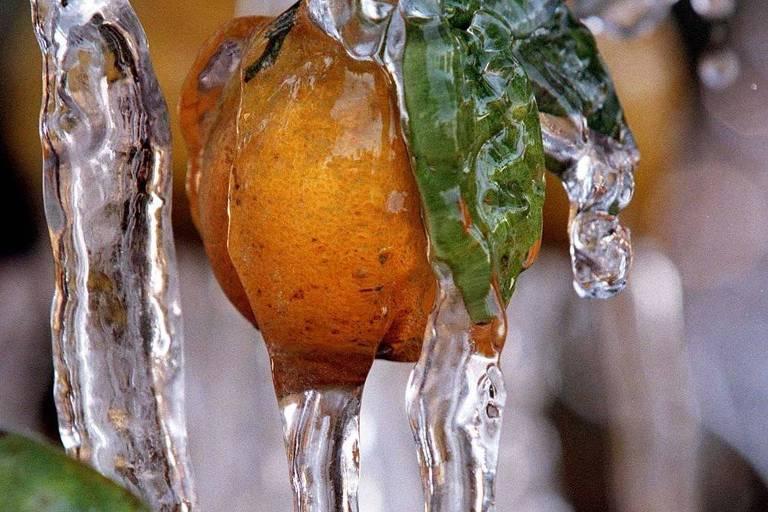Laranja congelada em plantação na Flórida