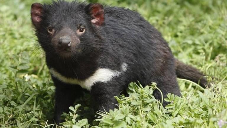 Uma forma contagiosa e transmissível 'parasitária' de câncer pode extinguir diabo-da-tasmânia nas próximas décadas