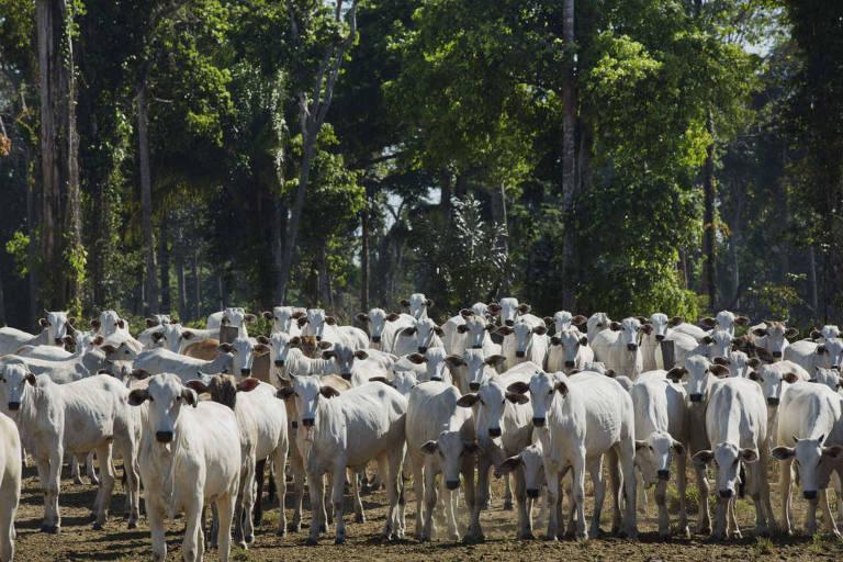 Gado em pasto de fazenda em Mato Grosso