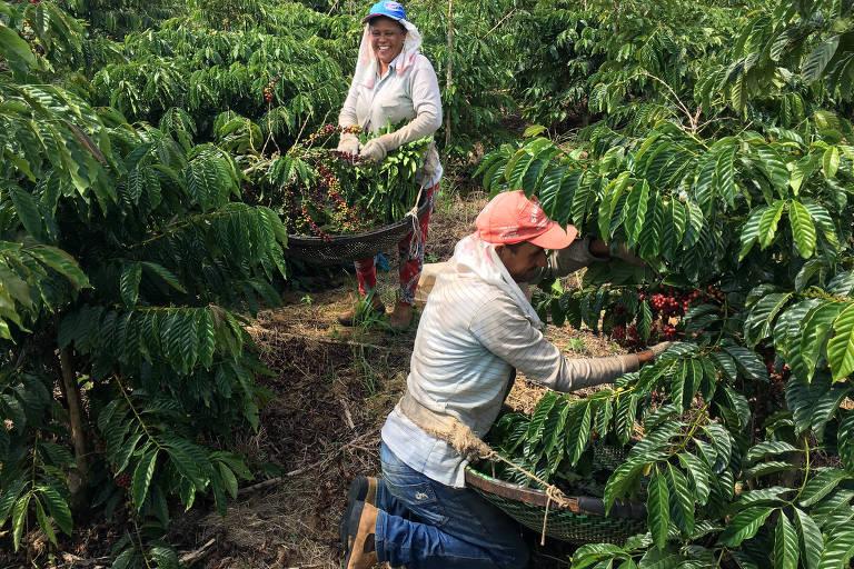 Agricultores colhem café robusta em  São Gabriel da Palha, no Espírito Santo