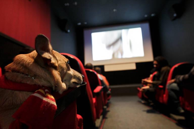 Cachorro assiste à sessão de cinema na sala da Matilha Cultural