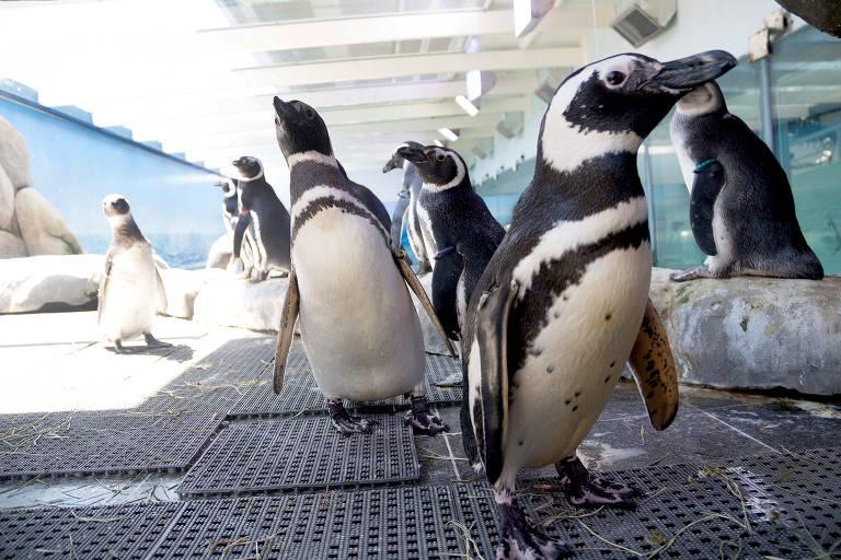 Pinguins andando