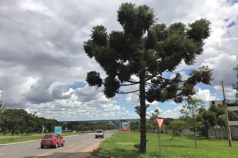 Araucária é um pinheiro nativo do Brasil